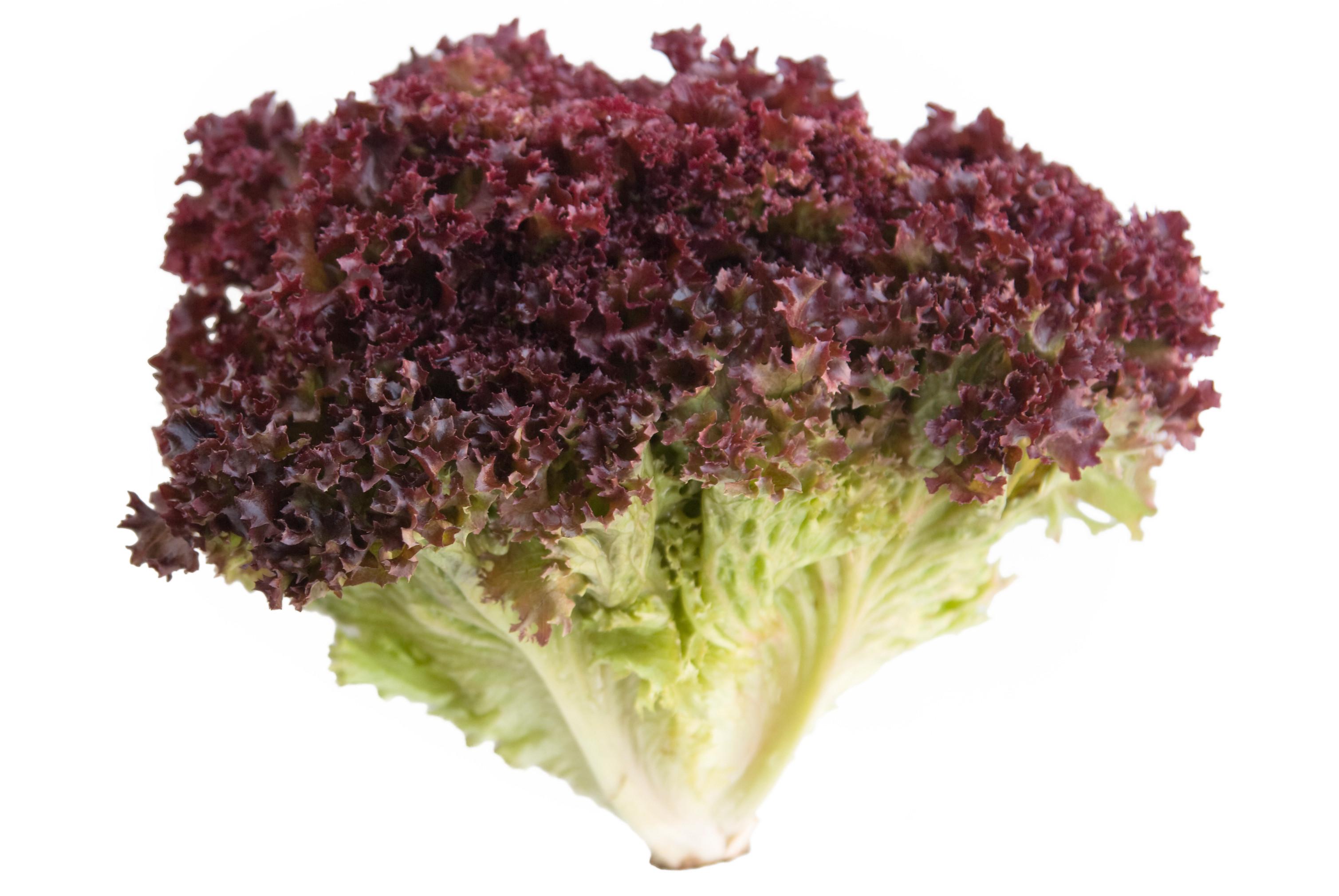 Jenis Jenis Selada Lettuce Judul Situs